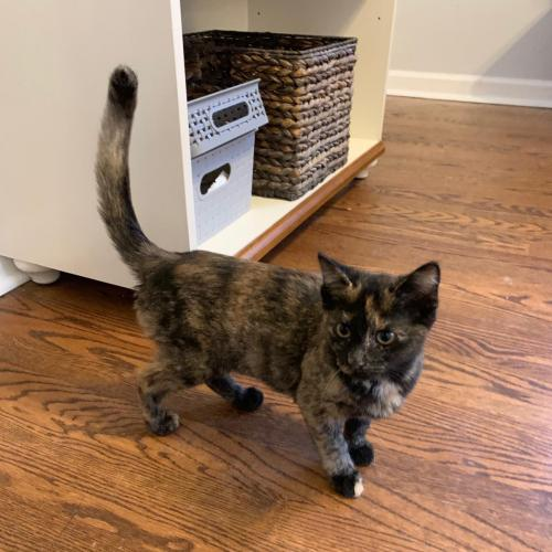 TORTIE BELLE<br>5 months old<br>Female<br>Spayed Kitten